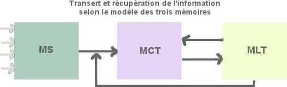 Les information sont transférées ou récupérées en mémoire à court terme à partie de la MS ou de la MLT. La MCT traite puis renvoie ces informations en MLT.