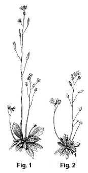La plante Draba verna a été étudiée par Jordan afin d'itentifier les différentes espèces.