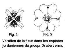 Variation de la fleur dans les espèces jordaniennes du groupe Draba verna.