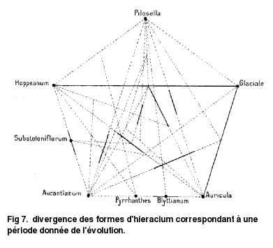 Divergence des formes d'hieracium correspondant à une période donnée de l'évolution.
