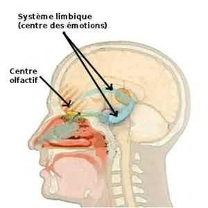 L'interaction entre olfaction et émotion est très forte en raison de la proximité entre le système limbique et le centre olfactif.