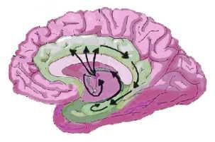 Le circuit de Papez, dans le cerveau.
