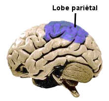 Le lobe pariétal du cerveau.