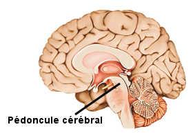 Le pédoncule cérébral, au niveau du tronc cérébral.