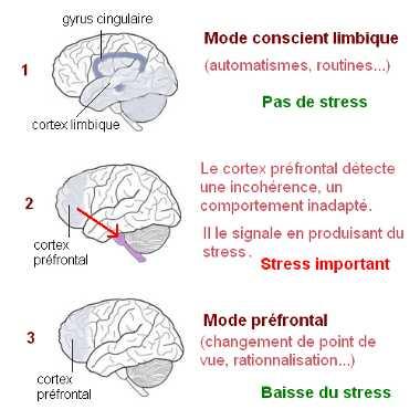 Dans une situation quotidienne, nous fonctionnons en mode automatique, sans stress. Si notre cerveau détecte une incohérence, il le signale à la conscience en déclenchant une cascade de stress.