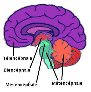 Les différentes structures du cerveau (télencéphale, diencéphale, mésencéphale, métencéphale).