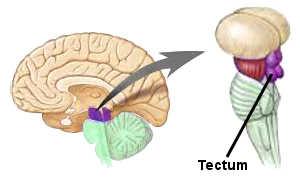 Le tectum mésencéphalique.