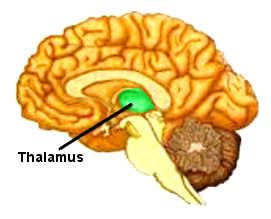 Le thalamus est situé au centre du cerveau.