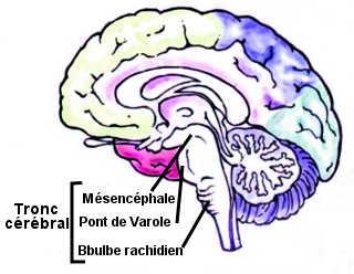 Le tronc cérébral est composé du mésencéphal, du pont de Varole et du bulbe rachidien.